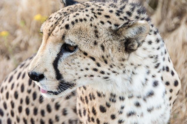 Resultado de la imagen para el guepardo